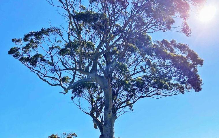 Massive Blue Gum Tree - image Blue-Gum-Tree-2-759x480 on https://tradewarebuildingsupplies.com