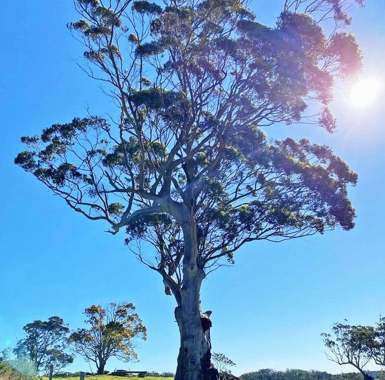 Queensland Red Cedar - image Blue-Gum-Tree-2-759x750 on https://tradewarebuildingsupplies.com