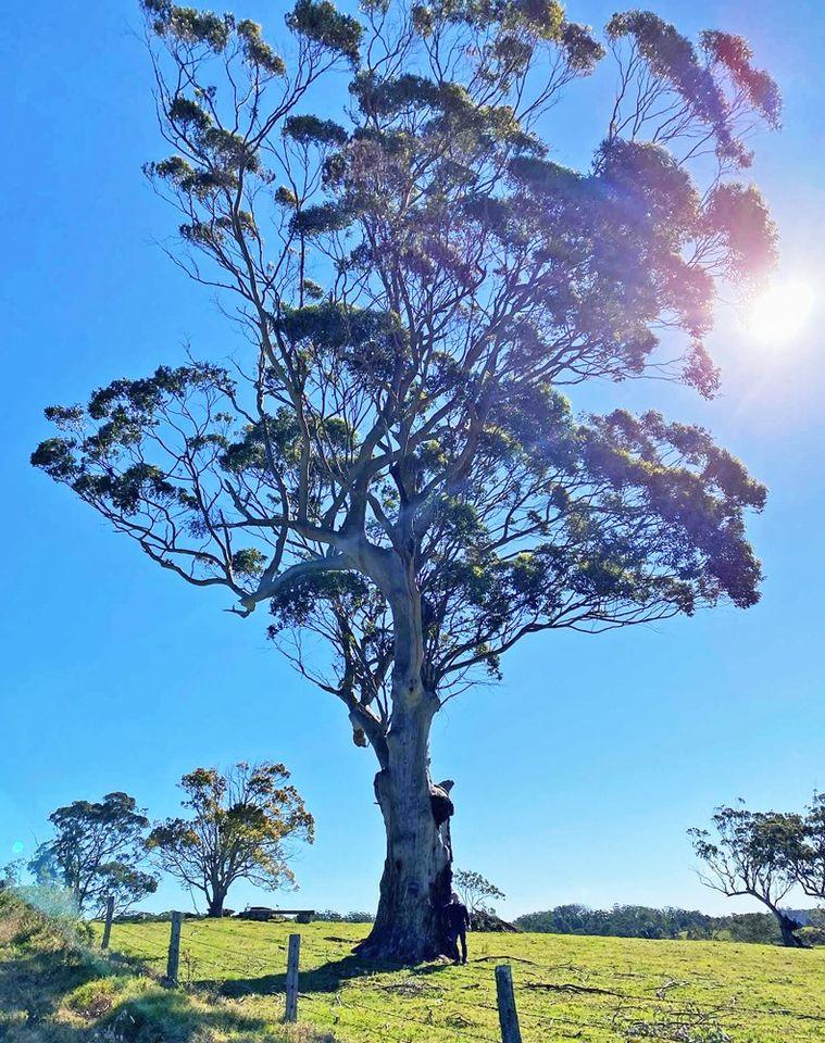 Blue Gum Tree