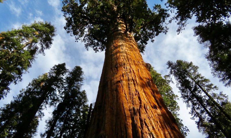 Queensland Red Cedar - image Red-Cedar-Giant-800-px-800x480 on https://tradewarebuildingsupplies.com