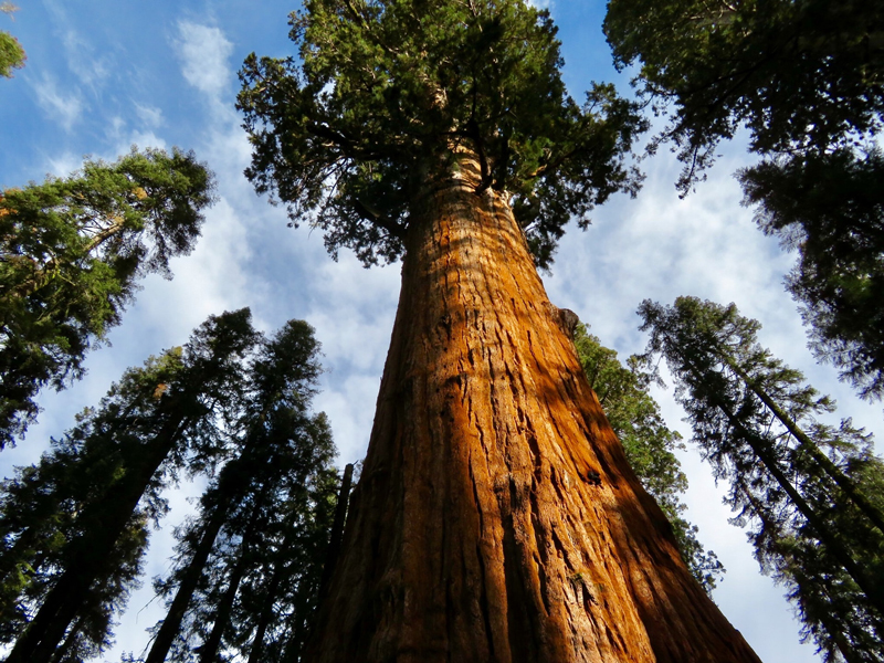 Massive Blue Gum Tree - image Red-Cedar-Giant-800-px on https://tradewarebuildingsupplies.com